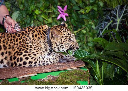Pet leopard in a collar lying in jungle