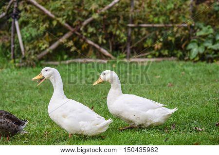 American Pekin Ducks. A popular domesticated breed.