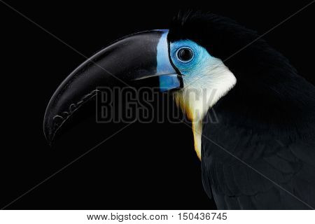 Close-up Channel-billed Toucan, Ramphastos vitellinus, portrait of bird with large beak Isolated on Black Background