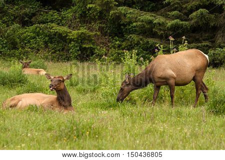 Several elk relax and graze in the Redwoods State Park in Oregon