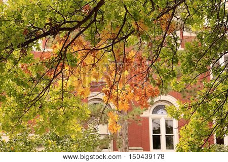 Maple tree in front of a Midwestern University building; leaves are turning yellow