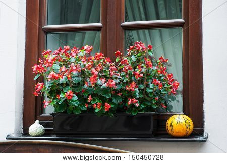Pot With  Begonia  Flowers