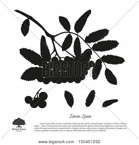 Silhouette of branch of rowan on a white background. Autumn and summer mountain ash. Vector illustration