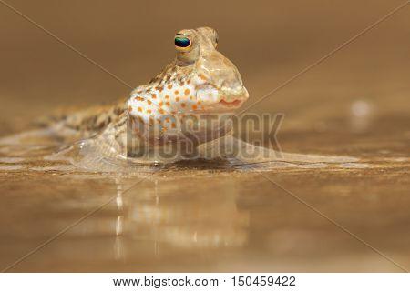 A fish out of water. Amphibious Rockskipper fish