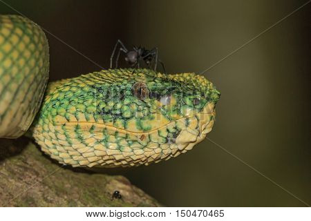 Temple Viper Snake (Wagner's Pit Viper). Ant on head