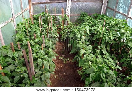 Many rows of ripening green sweet peppers in a domestic greenhouse of a wooden frame and polyethylene.