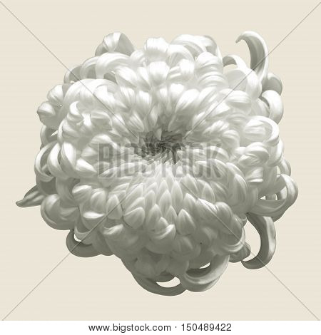 White flower, Chrysanthemum isolated on brown background