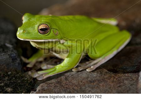 Close up three quarter view on single little green tree frog perched on rocky surface