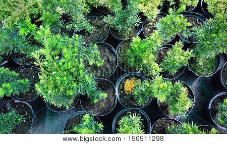 Many black pots with soil and green seedlings of coniferous trees of yew. Top view.