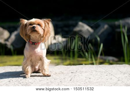 Purebred yorkshire terrier outdoor portrait near lake at noon