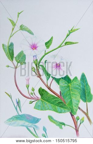 Watercolor painting original realistic herb of morning glory and green leaves in white background. Original painting poster
