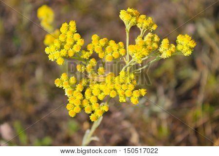 Yellow helichrysum arenarium flower on the meadow
