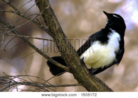 Willy Wagtail Landscape