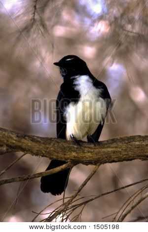 Willy Wagtail On Branch
