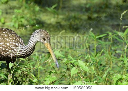 Limpkin southern Florida bird along Gulf of Mexico