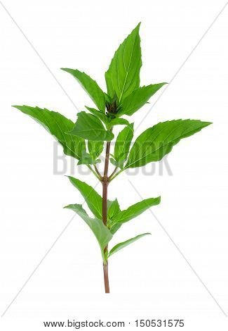 Sweet Basil isolated on white background food