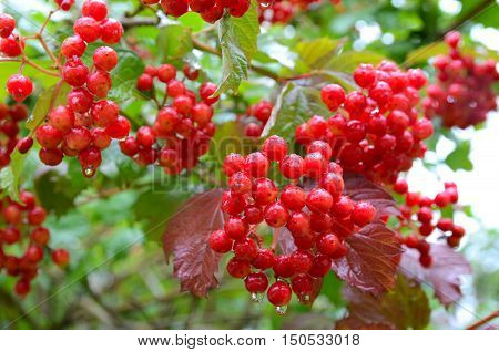 Bunches of red viburnum berries with raindrops at the end of summer season. Fresh organic guelder rose with green leaves in village garden. Seasonal fruit fall harvest and medicinal plant concept.
