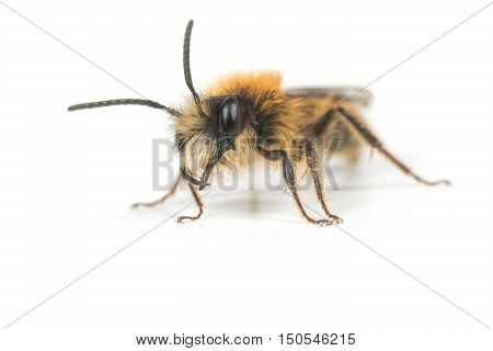 A male Andrena fulva Tawny Mining Bee on a white background.