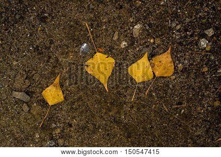Yellow leaves on the asphalt, autumn, colors of autumn, fall, autumn pattern, autumn background, yellow leaf, autumn texture, four yellow leaves, fall back, autumn back