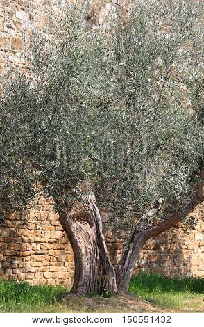 Detailed view of an old olive tree