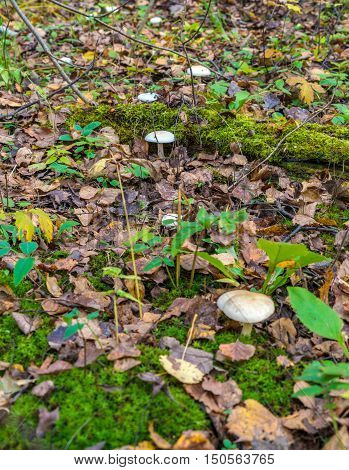 Сlouded Agaric (clitocybe Nebularis) Edible Mushroom  Among Fallen Leaves In Forest