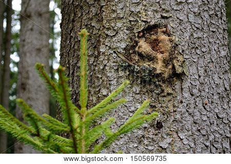 Resin on a spruce tree a young tree dabbing