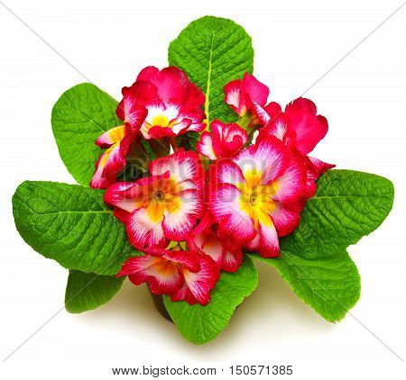 Pink primrose closeup isolated on white background