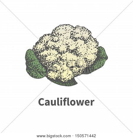 Vector illustration doodle sketch hand-drawn cauliflower. Isolated on white background. The concept of harvesting. Vintage retro style. Ripe head of cauliflower.