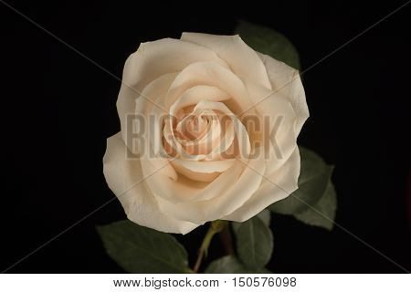 White, Flower, Black background, well-lit, Rose, close-up