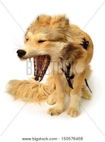 Dog growls and barks isolated on white background