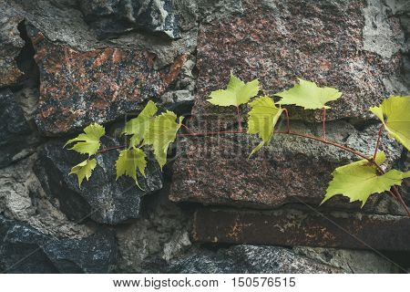 Young Branch Of Grapes On A Background Of Stone Granite Wall