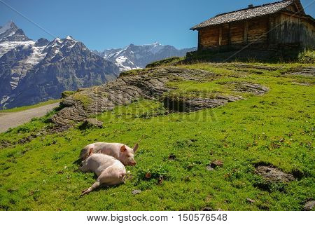 Pigs in an Alpine meadow with mountains in snow in background. Jungfrau region Switzerland