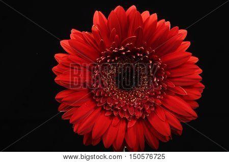 Red, Flower, Black background, back-lit, Gerbera, close-up