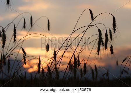 Wheat Grain