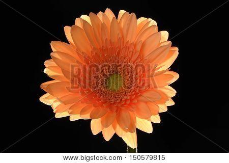 Orange Flower Black background back-lit Gerbera close-up Centered
