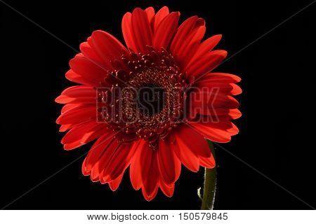 Red Flower Black background Mildly-back-lit Gerbera close-up Centered