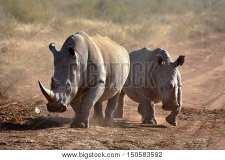 Picture of two white rhinos on a dirt road in Madikwe game reserve,South Africa,Africa.