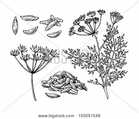 Caraway vector hand drawn illustration set. Isolated spice object. Engraved style seasoning. Detailed organic product sketch. Cooking flavor ingredient. Great for label, sign, icon