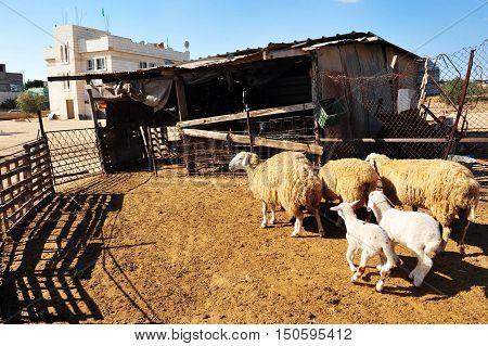 Sheep in Lakyia Bedouin village in southern Israel.