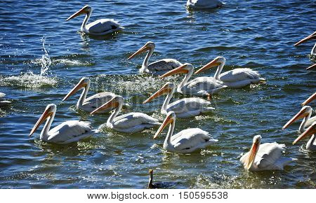 This is a photo of a white pelicans.