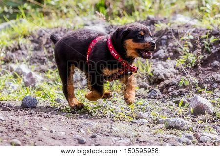 Happy One Month Puppy Rottweiler Running In Nature