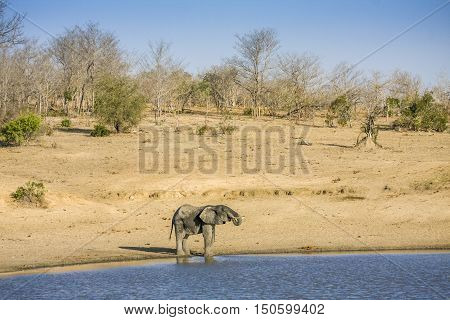 african bush elephant in the riverbank in Kruger National Park