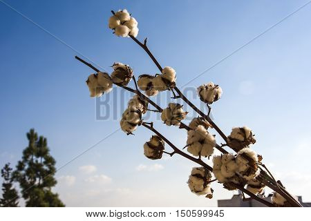 Close-up of Ripe cotton bolls on branch against cloudy blue sky organic