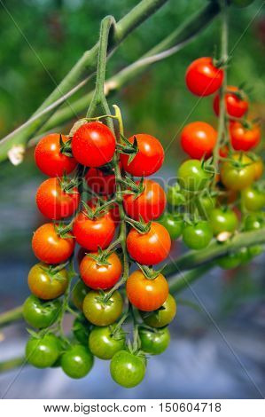 An orchard growing tree cherry tomatoes on the vine