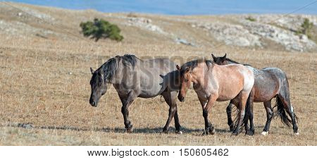 Band of Wild Horses walking on Sykes Ridge in the Pryor Mountains Wild Horse Range in Montana - Wyoming US of A