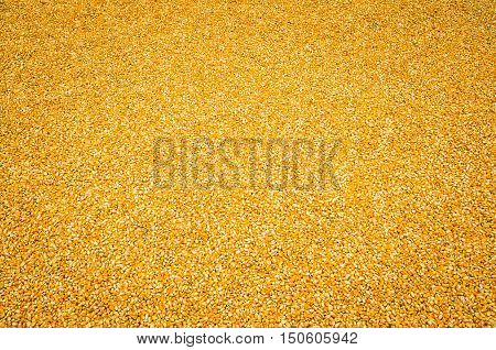 Corn with kernels, pile of corn, dried corn after harvest