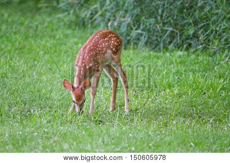 A whitetail fawn deer grazes on summer green grass