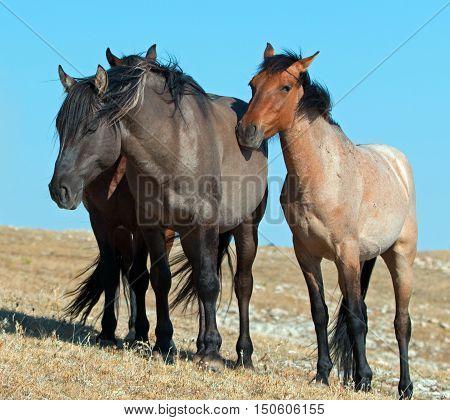 Band of Wild Horses on Sykes Ridge in the Pryor Mountains Wild Horse Range in Montana - Wyoming US