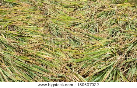 Rice, pile of paddy, whole rice, harvested rice, raw rice, whole grains, Asian staple