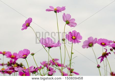 Flowers in the garden,Flowers in the garden, Cosmos flowers,background, beautiful, beauty, bright, color, cosmos,